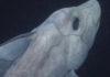 Жуткая древняя акула-призрак впервые показалась перед камерой!