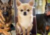 Хаски или алабай: какая ты собака по знаку зодиака?
