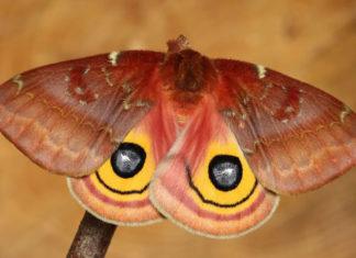 Яркие и необычные гусеницы до и после превращения в прекрасных бабочек