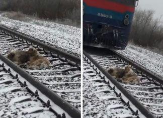 Пёс не бросил свою раненную подругу на железных путях и двое суток лежал рядом с ней, рискуя жизнью