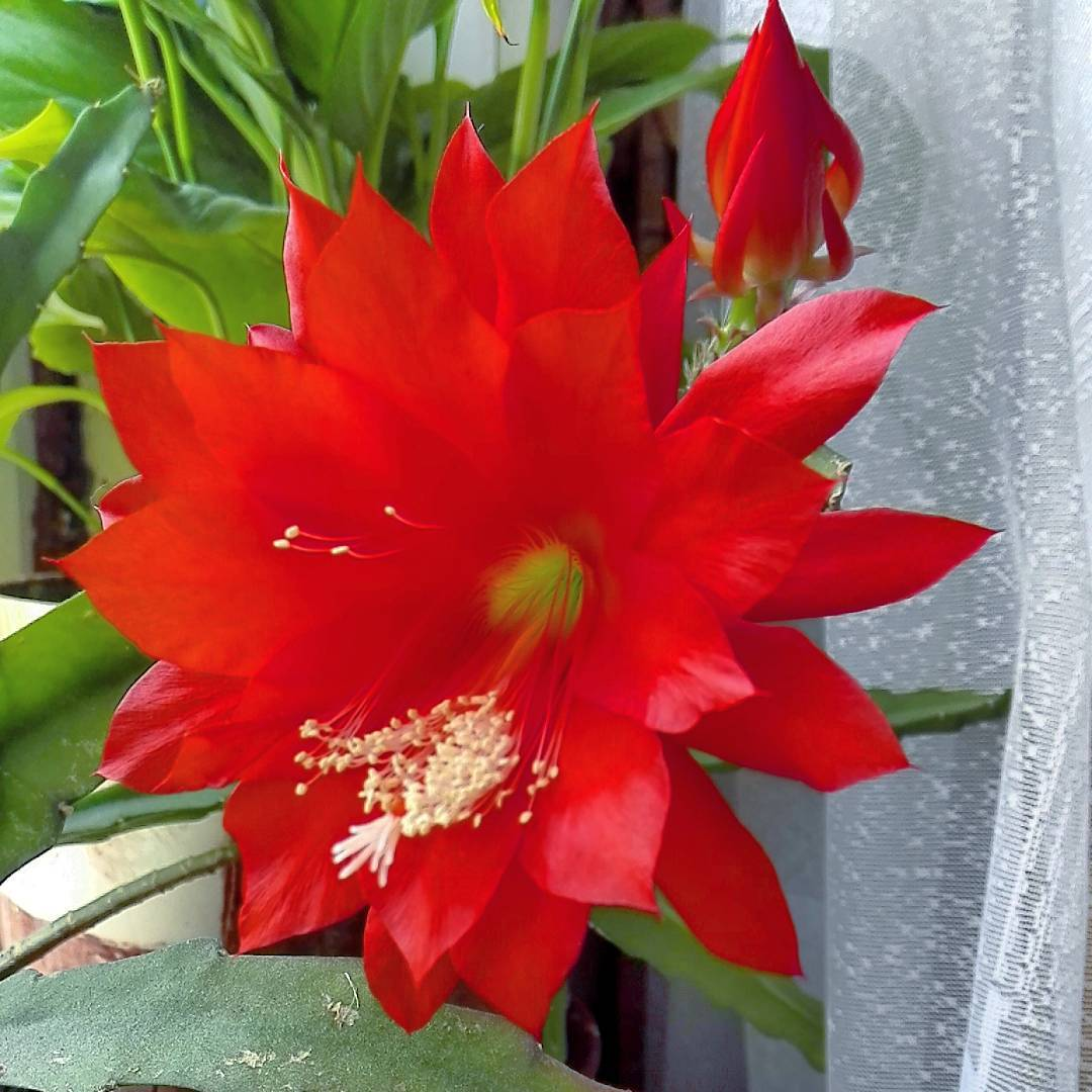 Комнатные цветущие цветы фото неприхотливые