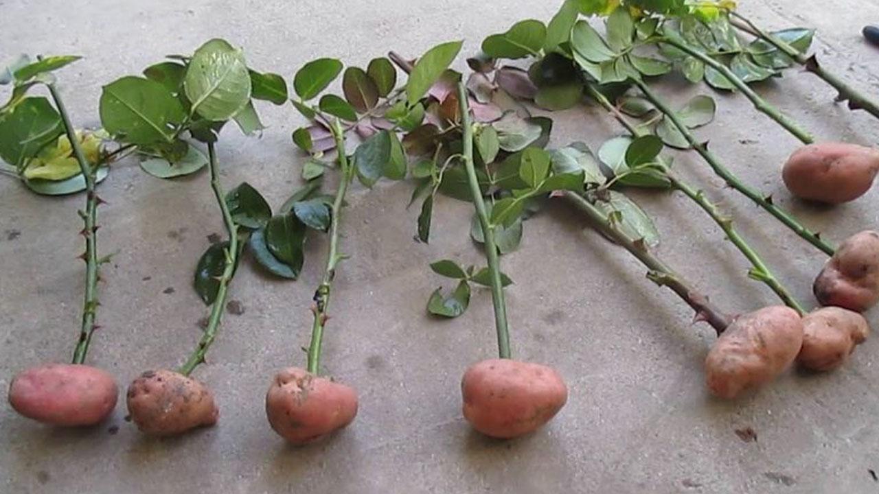Вырастить черенок розы в домашних условиях 455
