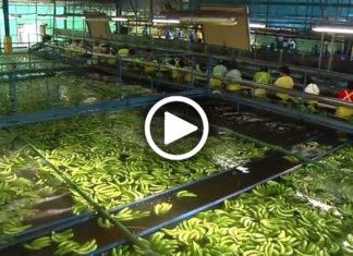 Вот как бананы попадают на полки супермаркетов. Кадры, которые стоит увидеть каждому!