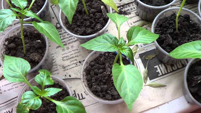Hot peppers on the window sill: a spicy addition to the dishes is always at hand! &#55357&#56397&#55357&#56845