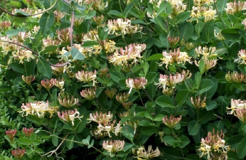 10 потрясающих кустов, которые превратят участок в место волшебного отдыха. Роскошно цветут! Глаз не отвести!