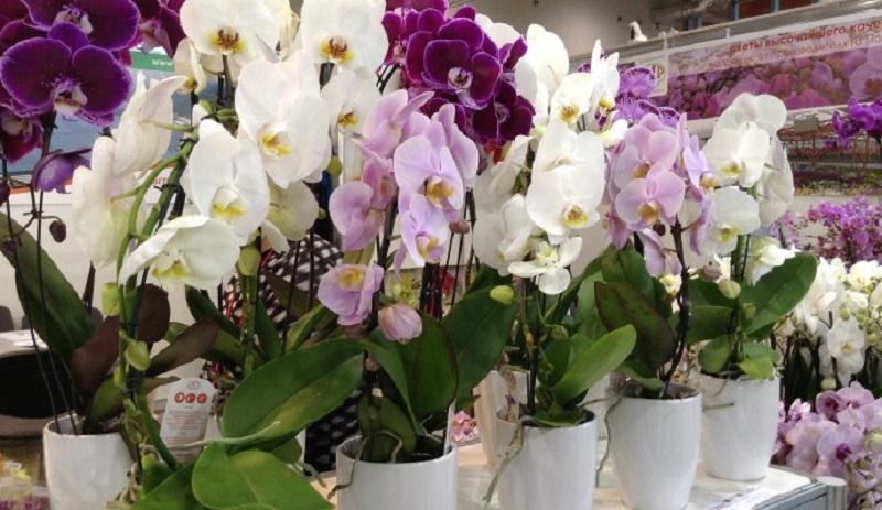 Размножить в домашних условиях орхидею