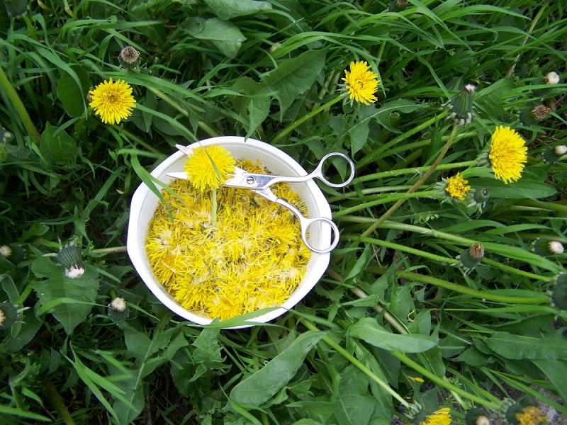 Самое многофункциональное лекарственное растение — одуванчик! Ты будешь удивлена. Теперь мой спасатель.