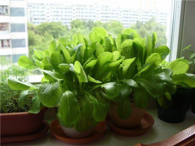 Мини-огород в квартире: как вырастить овощи, зелень и даже клубнику у себя дома