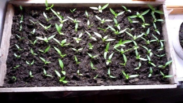 Посев перца на рассаду в феврале 2018 63