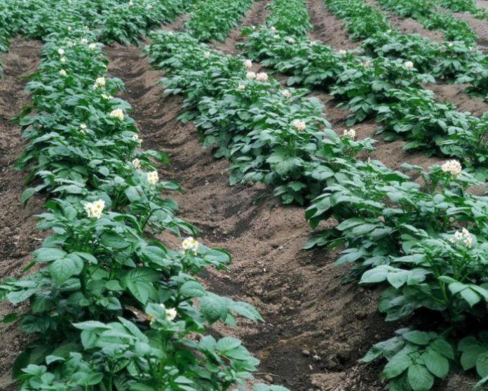 Выращивание картофеля рентабельность 57