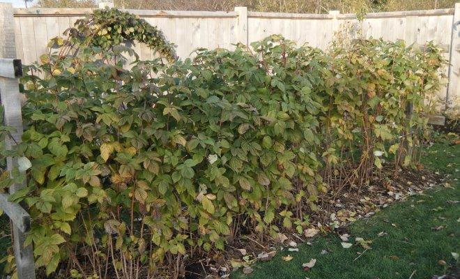 Чем подкормить малину осенью после сбора урожая и обрезки. Разбираемся, какие удобрения вносить осенью под малину и когда это делать.