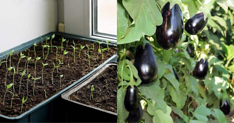 Когда сажать рассаду в 2020 году. Время перца, сельдерея, баклажанов и ранних томатов уже пришло! Позаботился о рассаде в марте — порадовался богатому урожаю летом.