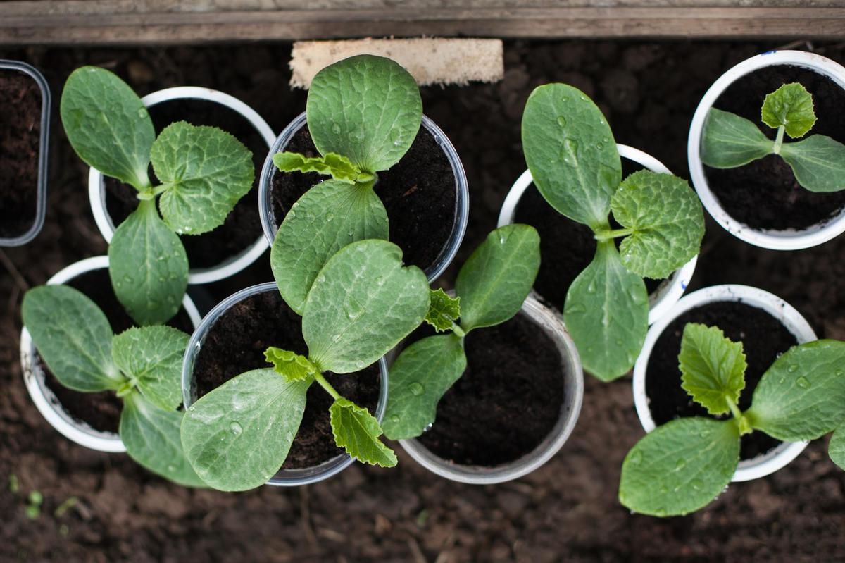 Кабачки и патиссоны выращивать через рассаду