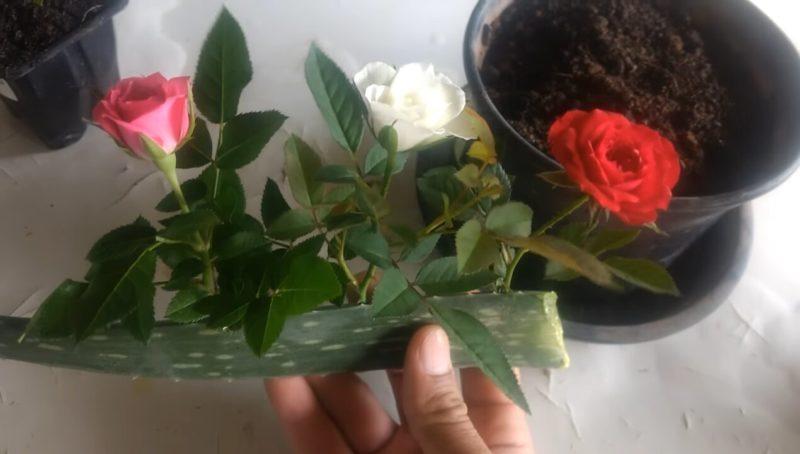 Поместите черенок розы в кусочек алоэ вера и поразитесь результату