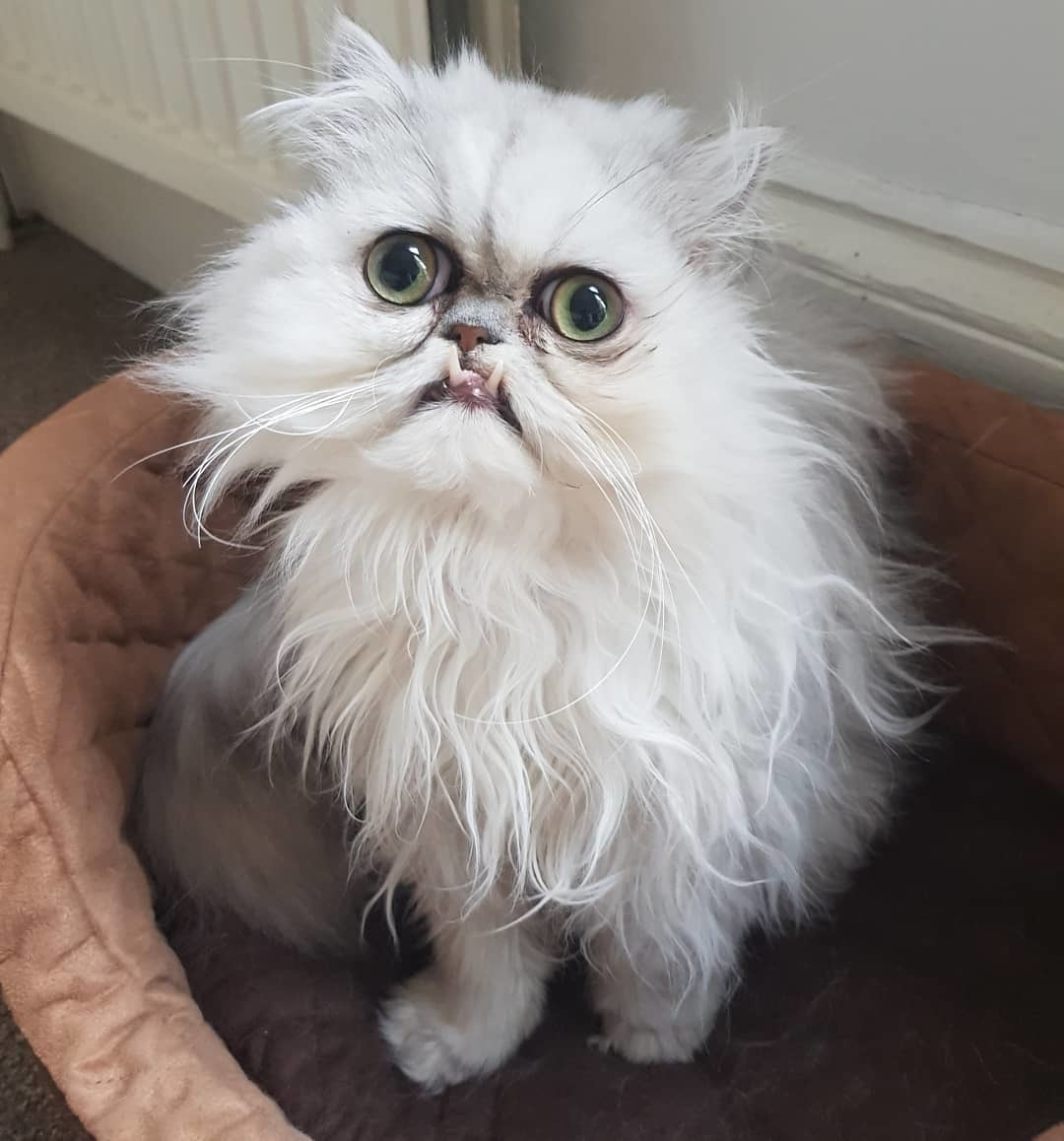 когда седеют кошки