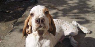 Староиспанский пойнтер. Все про породу собаки, фото и правила содержания