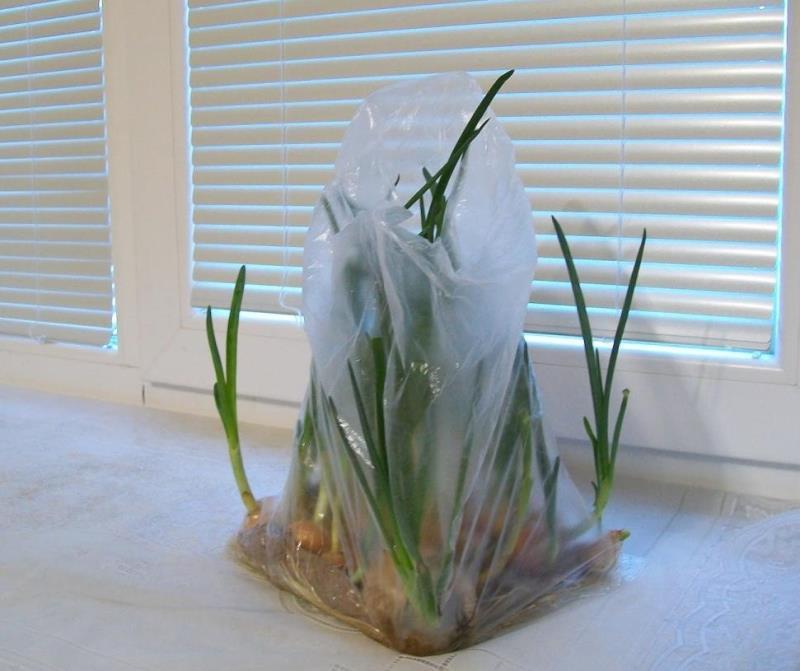 Зеленый лук к Новому году: самые быстрые способы выращивания свежей домашней зелени