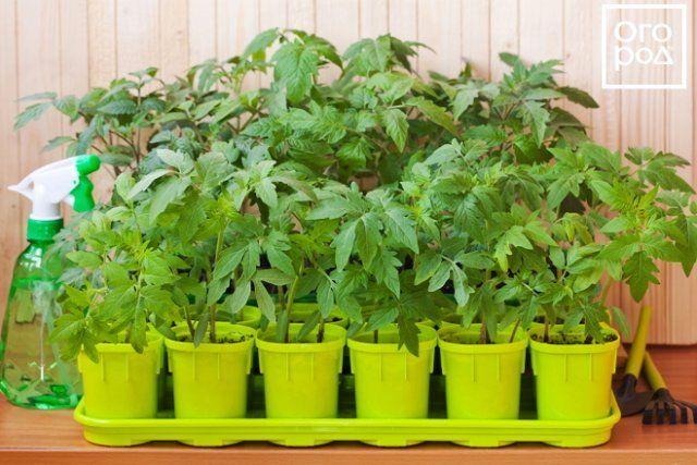 Выращиваем рассаду помидоров в домашних условиях (пошаговый мастер-класс с фото)