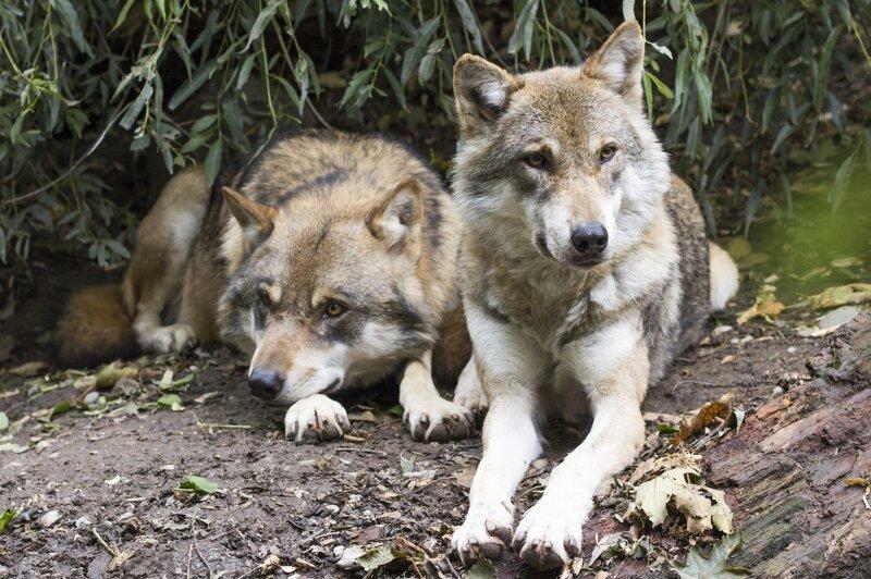 Что делать, если вы встретили в лесу волка?