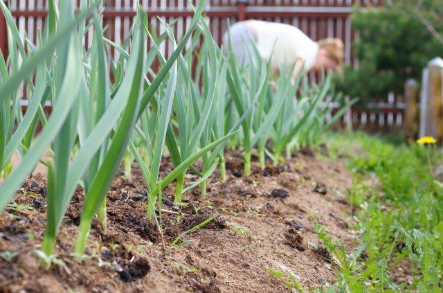 Что можно посадить рядом с чесноком – выбираем правильных соседей по грядке
