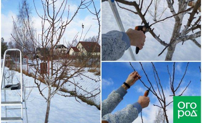 Как обрезать грушу зимой – подробный мастер-класс с фото