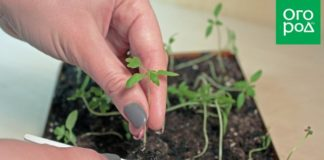 Пикировка рассады помидоров – пошаговый мастер-класс с фото