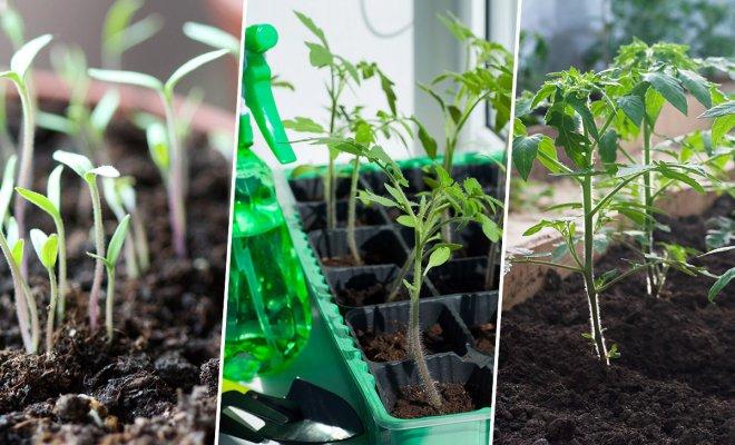 Рассада помидоров – выращиваем по всем правилам