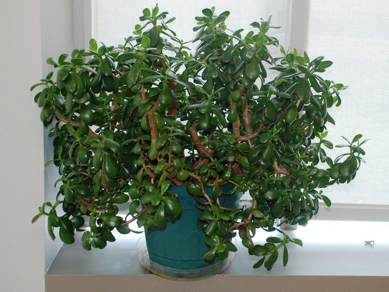 Как добиться цветения денежного дерева