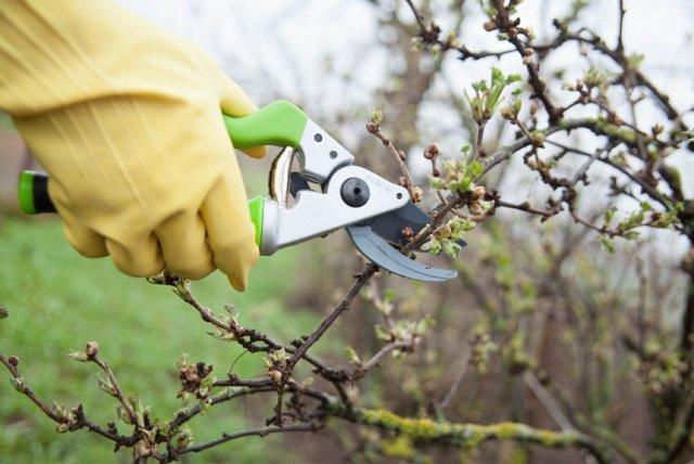 Какой частью плодоносит каждая культура, или главная ошибка в обрезке сада