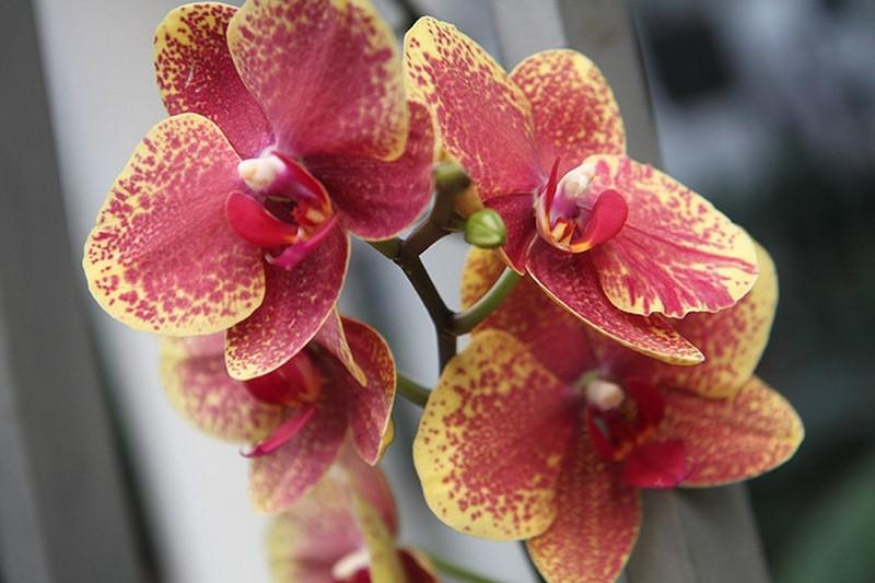 Домашнее удобрение для орхидей. Всего пару поливов, и цветы не узнать.