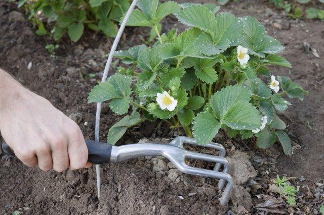 Уход за клубникой весной: как добиться максимального плодоношения