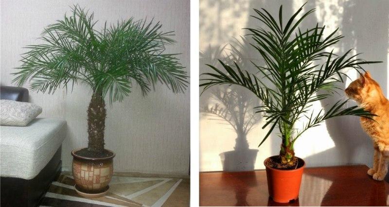 Как вырастить финиковую пальму из косточки. Простая инструкция.