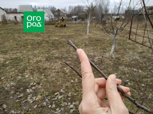 Как обрезать вишню весной – подробный мастер-класс с фото