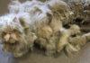 Невероятное преображение кота, который чуть не умер под тяжестью собственной шерсти