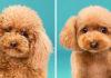 Посмотрите, как изменились эти собаки после стрижки, — их не узнать