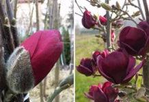 Как вырастить красавицу-магнолию на даче: сказочный сад уже этой весной!