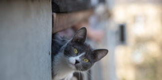 Седина у кошек