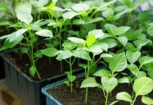 Рассада перца – от посева семян до высадки саженцев в грунт