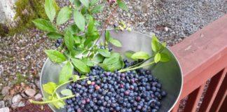 Голубика высокорослая: выбор почвы, правильная посадка и уход
