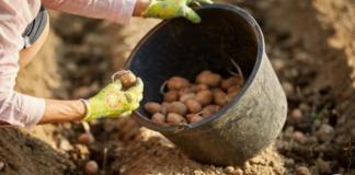Почему пришло время перестать сажать картофель