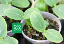 """Огородные хитрости: выращиваем рассаду огурцов в """"домиках"""" без крыши"""