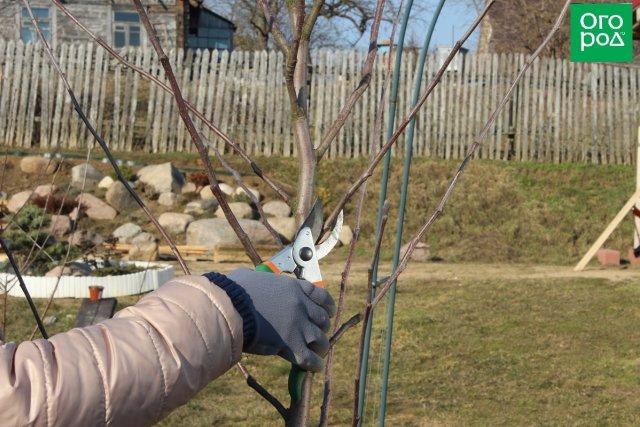 Как правильно обрезать яблоню и грушу весной (советы для начинающих)