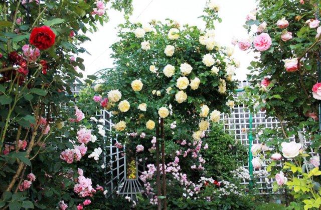 15 хитростей, как ухаживать за розами, от известного розовода Елены Демьянчук