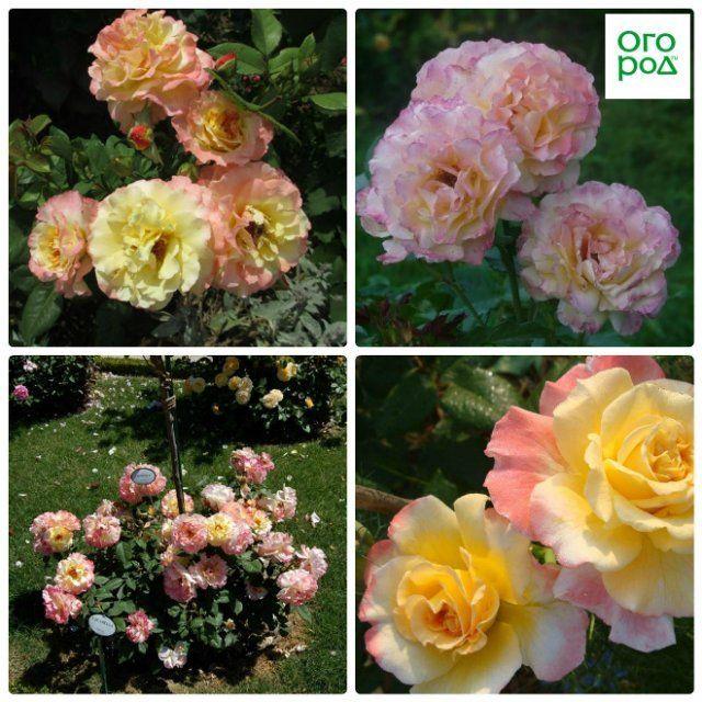 9 лучших сортов роз, цветущих все лето