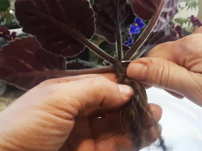 Обновление старой фиалки и как вернуть ей пышное цветение