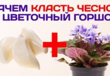 Зачем класть чеснок в горшки с цветами