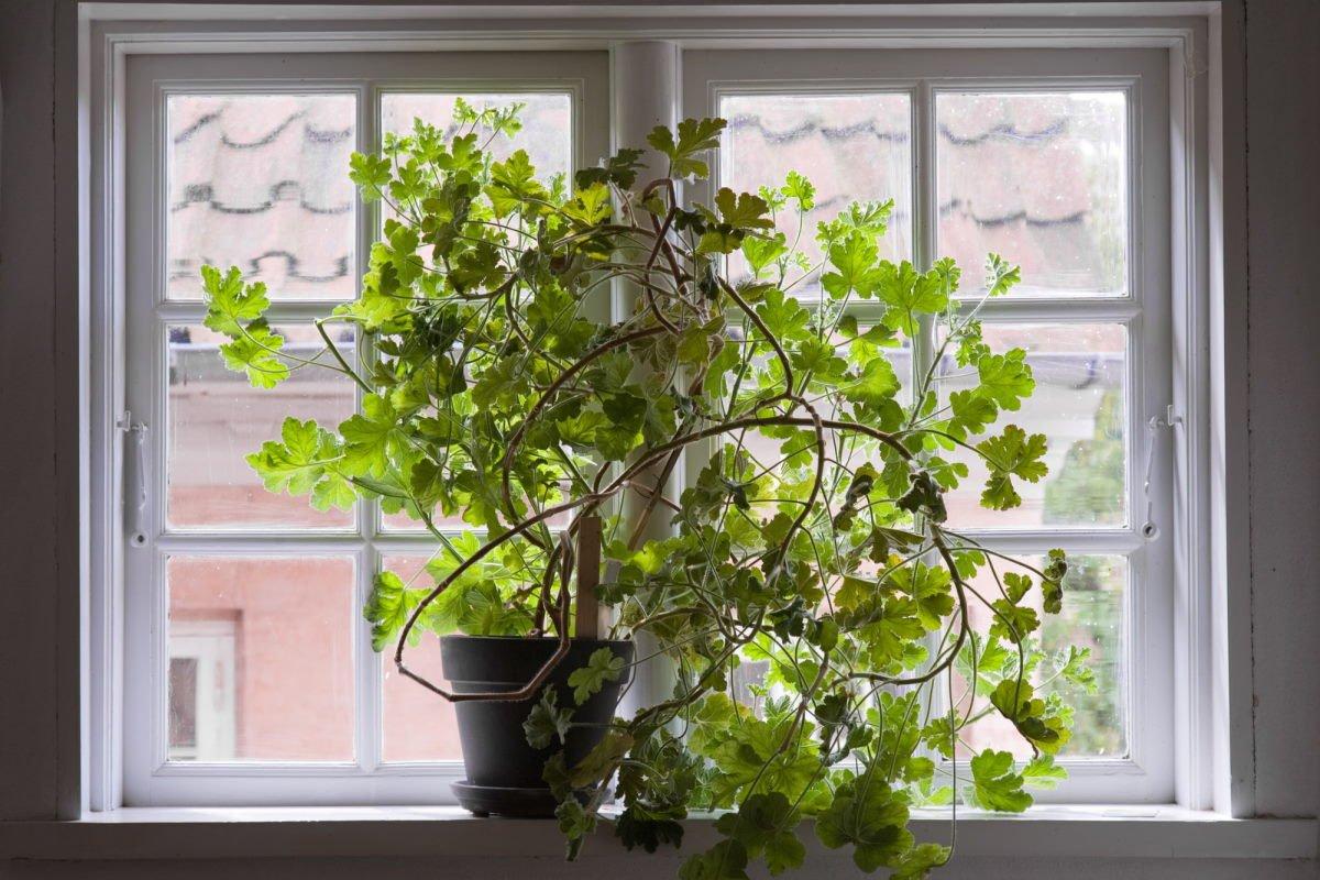 В каких случаях цветущий декабрист не нужен в доме