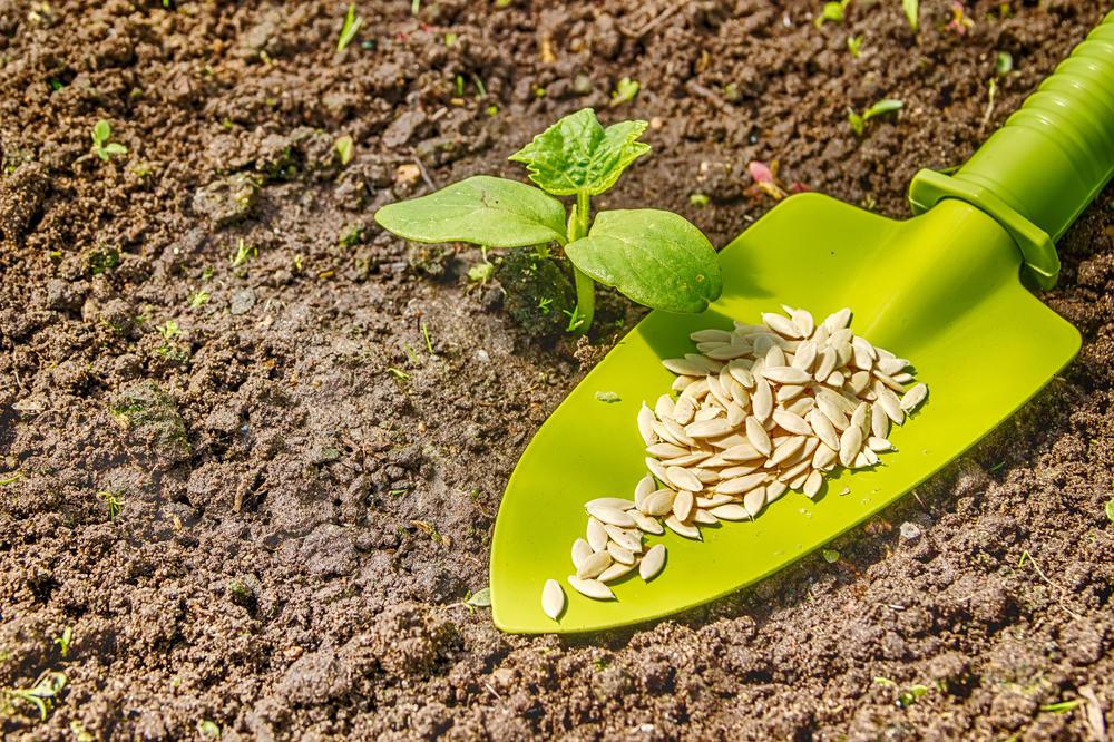 Огурец: секреты выращивания