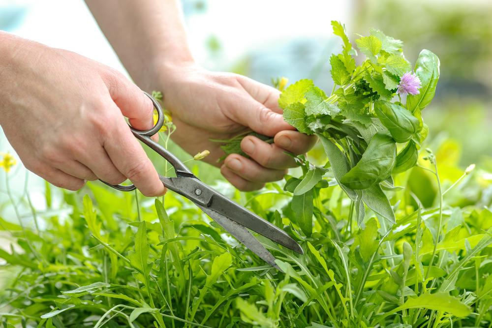 Как обустроить аптекарский огород на даче