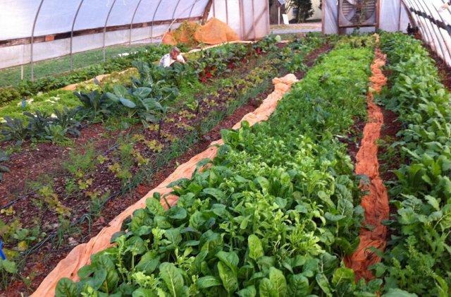 Уплотненные посадки овощей в теплице и на грядке: схемы и секреты